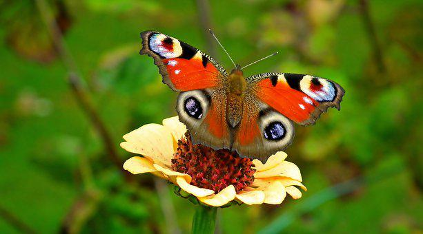 Peacock Butterfly, Butterfly, Flower