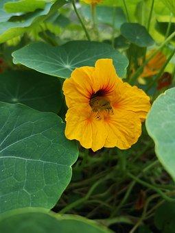 Nasturtium, Flower, Plant, Orange Flower