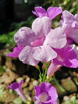 Hardy Gloxinia, Flowers, Plant