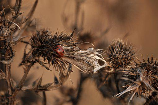 Ladybug, Insect, Dried Flowers