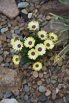 Cape Marguerite, Flowers, Plant, Yellow Flowers, Petals