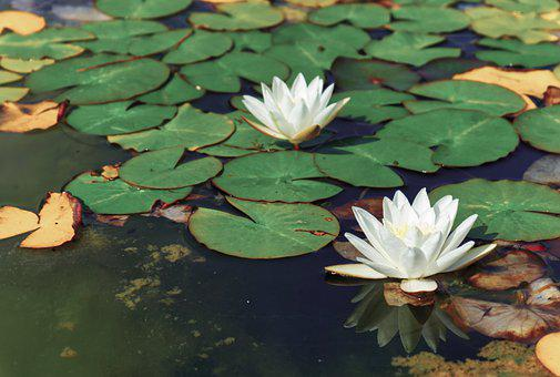 Water Lily, Flowers, Plants, White Flowers, Petals
