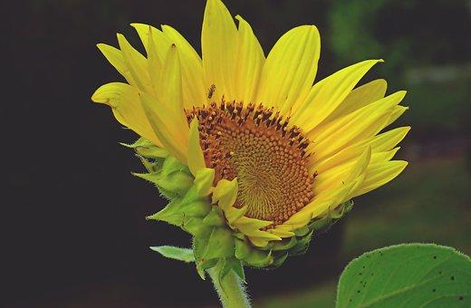 Sunflower, Flower, Plant, Yellow Flower