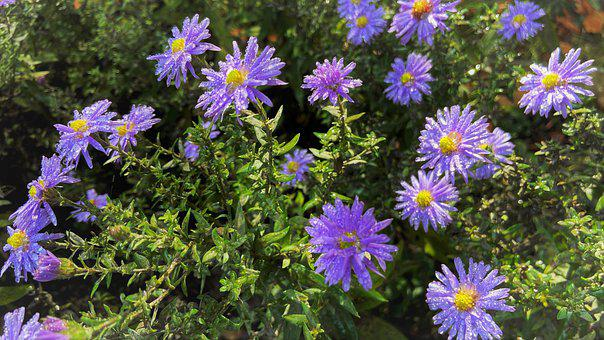 Asters, Flowers, Plants, Purple Flowers, Dew, Wet