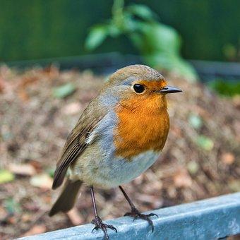 Robin, Bird, Garden, Nature, Autumn, Fall, Birdwatching