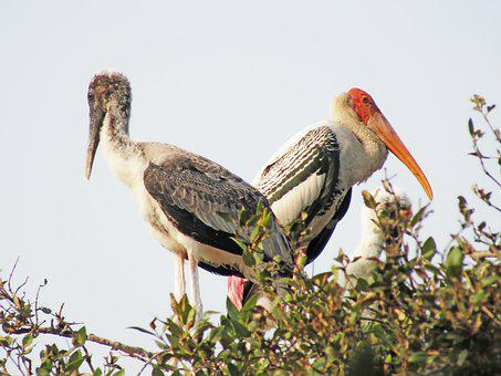 Painted Stork, Birds, Animals, Stork, Wader, Wildlife