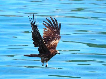 Kite, Bird, Flying, Black Kite, Animal, Bird Of Prey