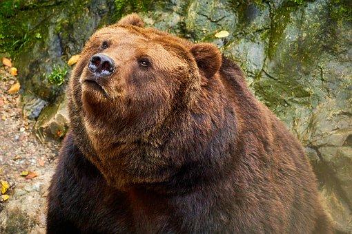 Bear, Brown Bear, Wildlife, Mammal, Animal Photography