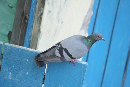 Pigeon, Rock Dove, Rock Pigeon, Common Pigeon, Bird