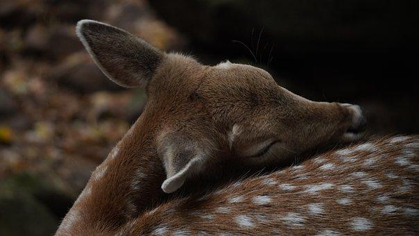 Fawn, Wildlife, Nature, Animal, Background, Deer, Cub