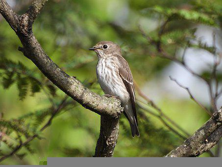 Grey-streaked Flycatcher, Bird, Animal, Flycatcher