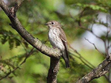 Grey-Streaked Flycatcher, Bird, Animal