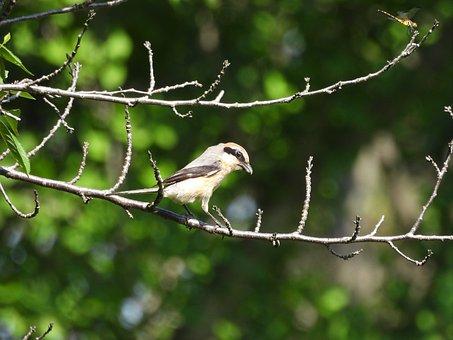 Shrike, Bird, Avian, Wild Bird, Animal, Japan, Wildlife