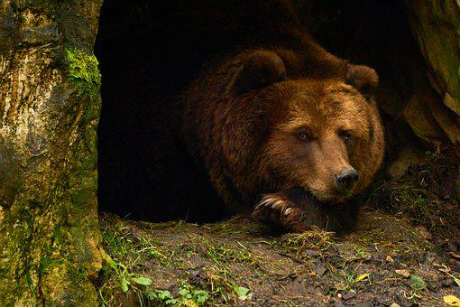 Bear, Brown Bear, Hibernation, Animal, Mammal, Nature