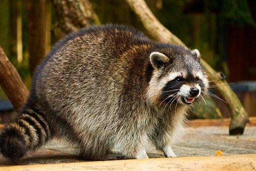 Raccoon, Wildlife, Animal, Nature, Wilderness