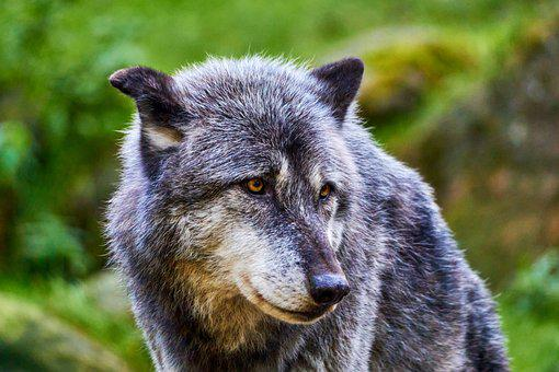 Wolf, Animal, Wildlife, Nature, Animal Portrait