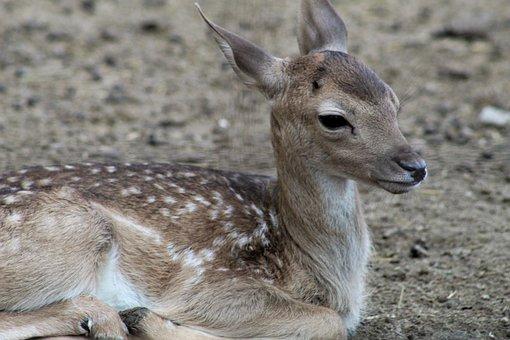 Deer, Fawn, Animal, Wildlife, Nature