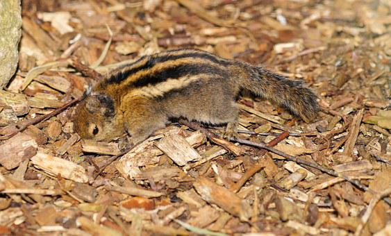 Rodent, Croissant, Chipmunk, Nager, Cute, Animal