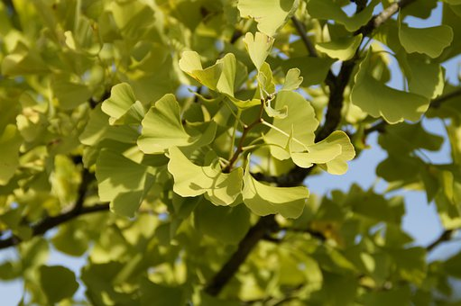 Ginko, Green, Leaves, Tree, China, Autumn, Gingko