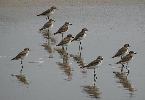 Lesser Sand Plover, Bird, Aves, Fauna, Avian, Beach