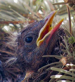 Bird, Blackbird, Young, Nest, Bird's Nest