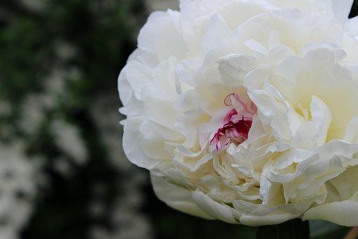 Peony, White, Blossom, Bloom, Flower, Plant, Nature
