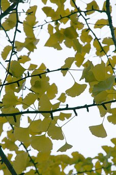 Ginko Leaf, Leaves, Foliage, Medicinal, Herb, Branches