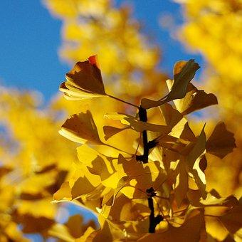 Ginko, Tree, Bush, Leaves, Ginko Tree, Autumn, Gingko