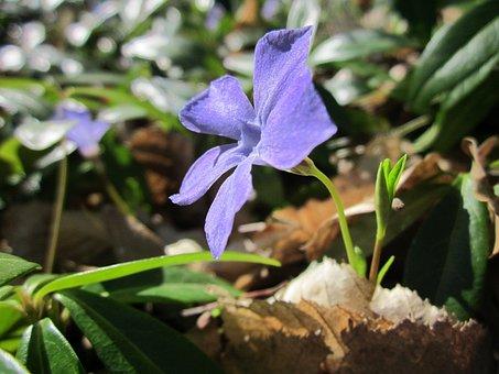Vinca Minor, Lesser Periwinkle, Dwarf Periwinkle, Flora