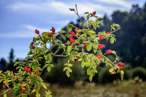 Rosehip, Red, Rose Hips, Wild Rose, Fruit, Eatables