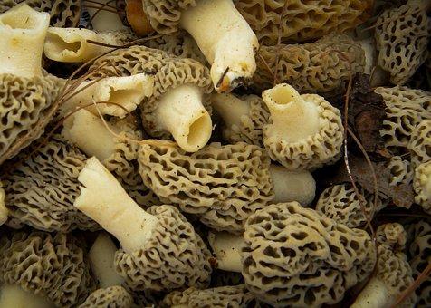 Mushrooms, Morels, Nature, Edible, Fungus, Fresh, Brown