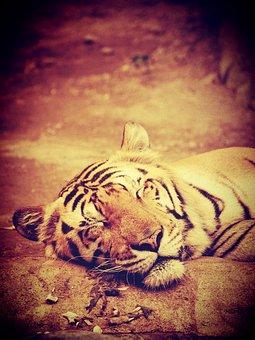 Tiger, India, Animal, Bengal, Asian, Bamboo, Head