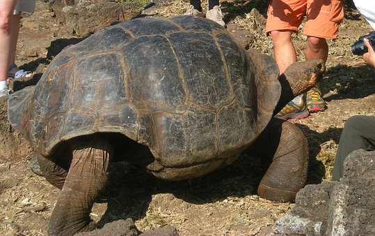 Tortoise, Giant, Water, Rocks, Island, Galapagos