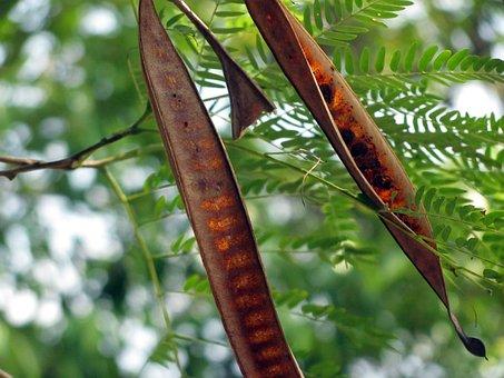 Locust Podshrub, Tree, Leaves, Seeds, Twigs, Leaf