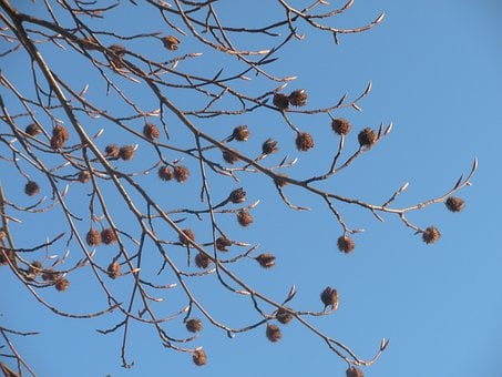 Seed Pods, Dried, Matured, Buds, Budding, Leaves