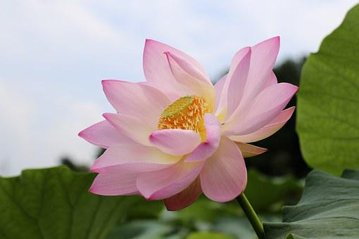 Lotus Flowers, Beauty, The Beauty, Natural, Rose Petals