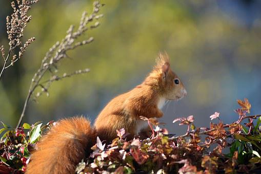 Squirrel, Croissant, Balcony, Autumn, Cute, Nager