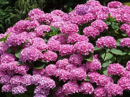 Pink-flowered, Nature, Shrub, Woody Peony
