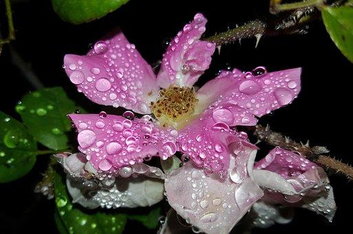 Rose, Wild Rose, Flower, Pink Rose, Pink Flower