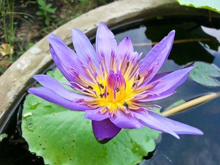 Bua Ban, Violet, Water, Pretty, Bua Toom, Lotus, Flower