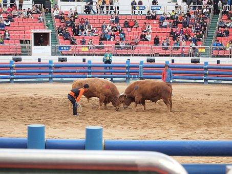 Qingdao Cow Fighting, Qingdao, Cow