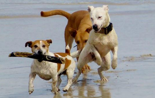 Dogs, Beach, Play, Batons, Race, Romp, Run, Friends