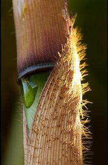 Fargesia, Robusta, Bamboo, Culm, Stem, Sheath, Plant