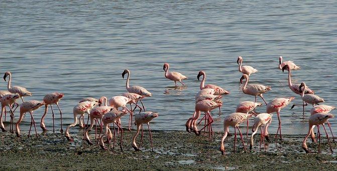 Flamingos, Lesser, Flock, Fauna, Bird, Pink, Swamp
