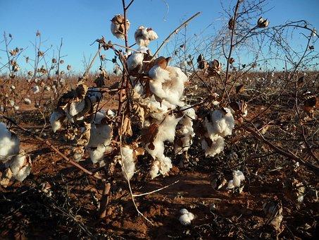 Cotton, Pods, Nature, Soft, Textile, Fiber, Branch