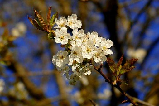 Flowers, Ornamental Cherry, Tree, Spring
