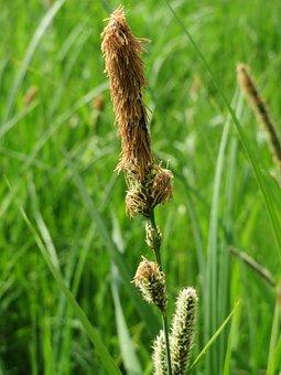 Carex Acutiformis, Lesser Pond-sedge, Wildflower