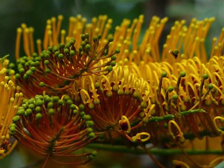 Grevillea Robusta, Flowers, Yellow, Large, Silver Oak
