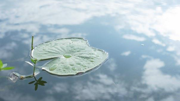 Lotus Leaf, Pond, Nature, Inverted Image, Yunnan