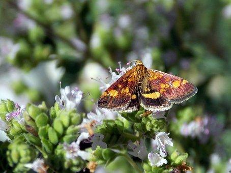 Butterflies, Butterfly, Borer, Gold Borer, Insect